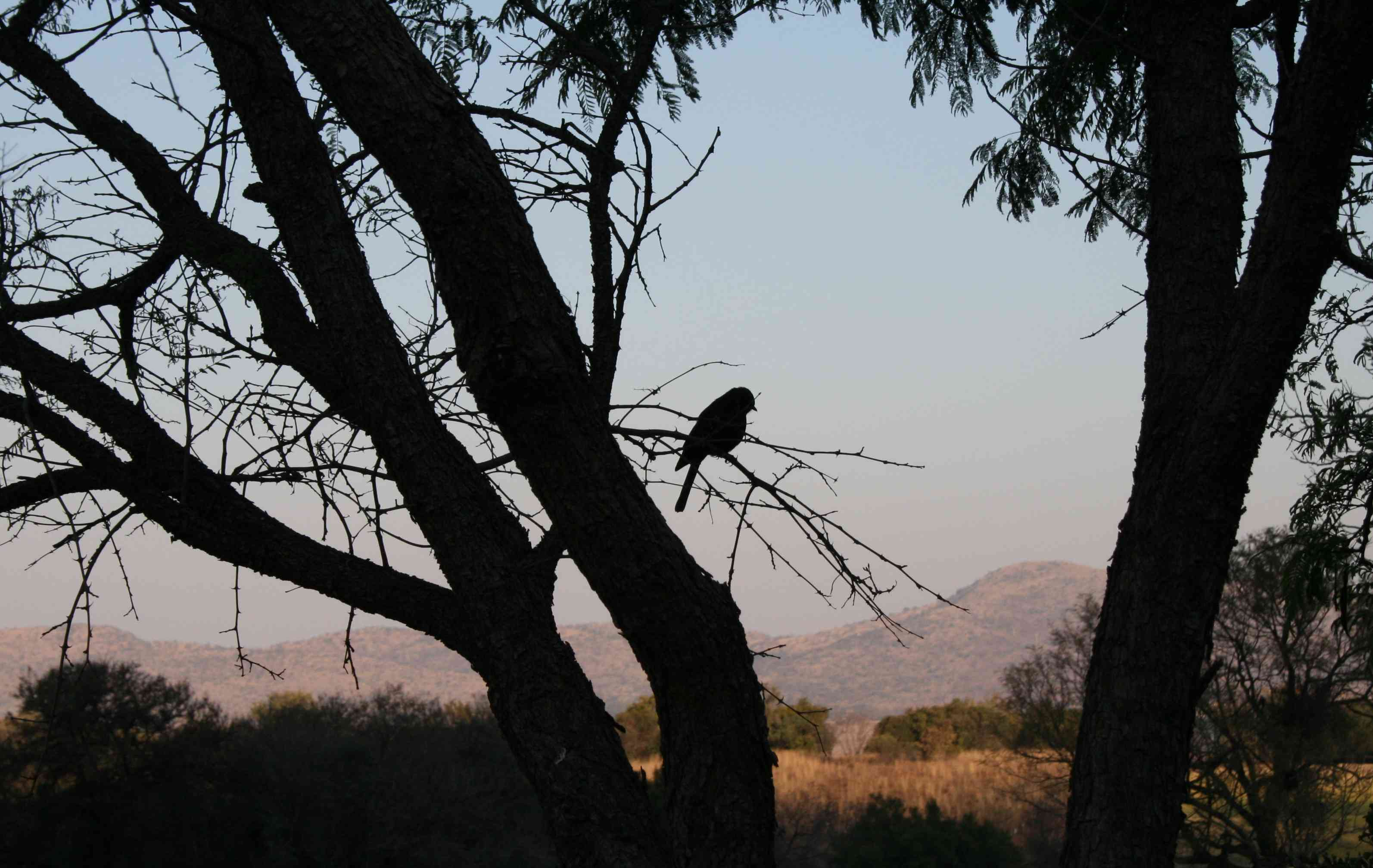 A black flycatcher finds a perch at sunset