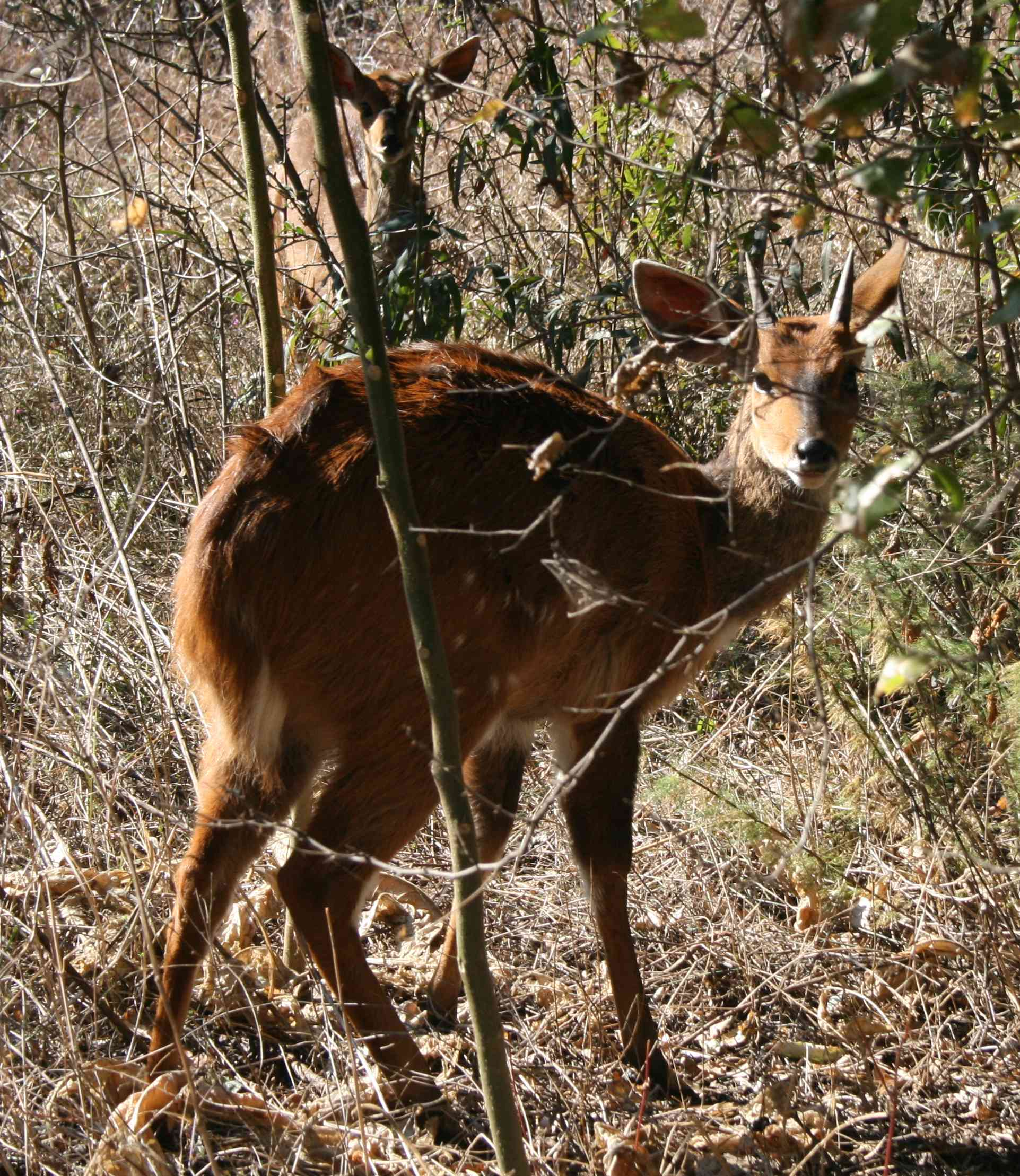 A bushbuck and young in a wooded part of gthe resort