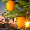 SA takes up citrus black spot issue