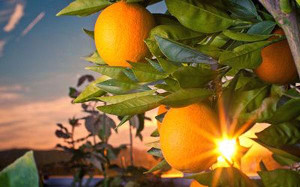 Citrus Trade