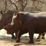Rhinos poached reaches 1000