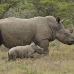 More rhinos are killed