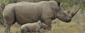 Rhino Poaching South Africa