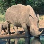 SA signs deal to save rhino