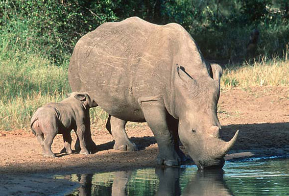 Deal to save rhino
